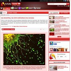 Les dendrites, les mini-ordinateurs du cerveau