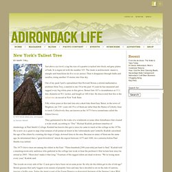 Adirondack Life Blog Archive » New York's Tallest Tree
