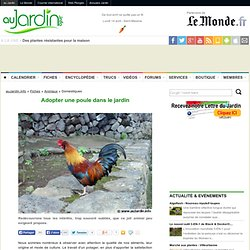 Adopter la poule dans le jardin