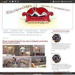Amaro un galgo bringé de 3 ans retour à l'adoption avant même d'arriver dans sa famille - Association animale ma-vie-de-galgo