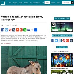 Adorable Italian Zonkey is Half Zebra, Half Donkey