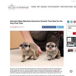 Adorable Baby Meerkats Adventure Outside Their Nest for the Very First Time