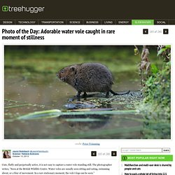 Water Vole caught in rare moment of stillness