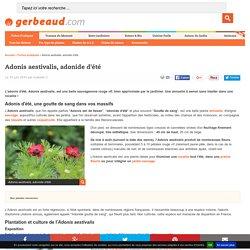 Adonis aestivalis, adonide d'été : semis, culture