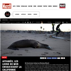 Affamés, les lions de mer envahissent la Californie