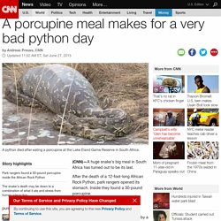 South Africa python's deadly meal: a porcupine