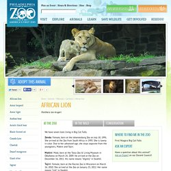 African lion - Philadelphia Zoo