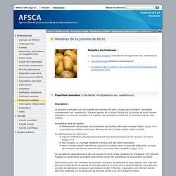 AFSCA - Maladies de la pomme de terre : Maladies bactériennes