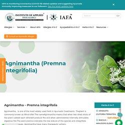 Agnimantha (Premna integrifolia) -