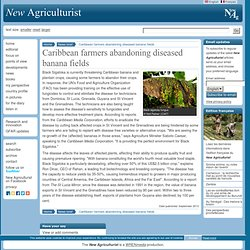 NEW AGRICULTURIST - SEPT 2013 - Caribbean farmers abandoning diseased banana fields