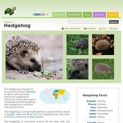 Hedgehog (Atelerix Albiventris)