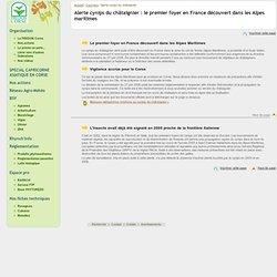 FREDON CORSE 31/05/07 Alerte cynips du châtaignier : le premier foyer en France découvert dans les Alpes maritimes