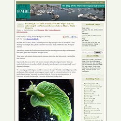 Sea Slug has Taken Genes from the Algae it Eats, Allowing it to Photosynthesize Like a Plant, Study Reports « @mbl
