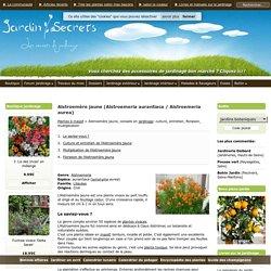 Alstroemère jaune (Alstroemeria aurantiaca / Alstroemeria aurea) : culture, entretien, semis