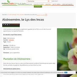 Alstromère, Alstroemeria : plantation et conseils d'entretien