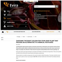 EVIRA 20/05/15 Choosing the right colour for your crop plant may provide an alternative to chemical pesticides