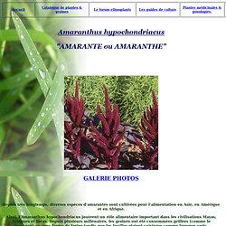 AMARANTE Amaranthus Guide de culture graine et plante