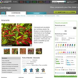 Amarante: planter et cultiver l'amarante