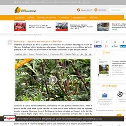 ACTU ENVIRONNEMENT 13/09/11 Ambroisie : la plante envahissante coûte cher