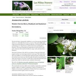 Amelanchier alnifolia, Western Service Berry
