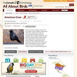 American Crow, Life History