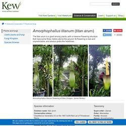 Amorphophallus-titanum
