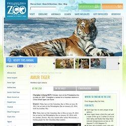 Amur tiger - Philadelphia Zoo