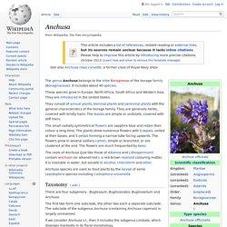 Anchusa - Wikipedia