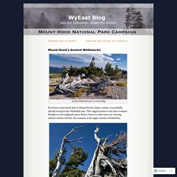 Mount Hood's Ancient Whitebarks