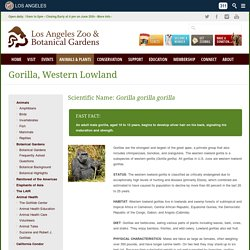 Los Angeles Zoo and Botanical Gardens Gorilla, Western Lowland - Los Angeles Zoo and Botanical Gardens