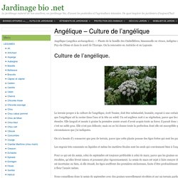 Angélique - Culture de l'angélique jardinage bio
