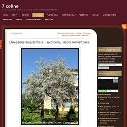 Elaeagnus angustifolia – salcioara, salcia mirositoare
