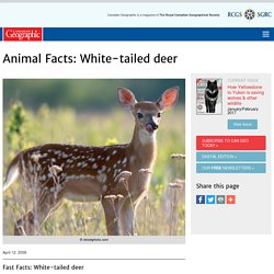 Animal Facts: White-tailed deer
