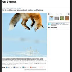 Review of the year 2011: animals feeding and fighting - Telegraph