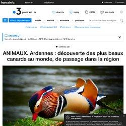 ANIMAUX. Ardennes : découverte des plus beaux canards au monde, de passage dans la région