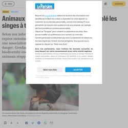 Animaux en voie de disparition : qui a volé les singes à tête dorée ? - Le Parisien