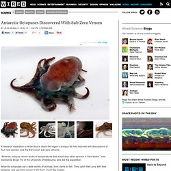 Antarctic Octopuses Discovered With Sub-Zero Venom