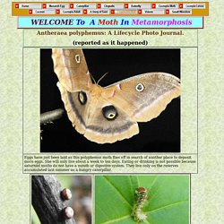 Anthereae polyphemus: life cycle photo journal of a saturniid moth