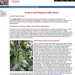 Coffee Plant: Arabica and Robusta - CoffeeResearch.org