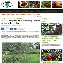 Olive - Arbequina (Olea europaea) Harvest Curing in Large Jar