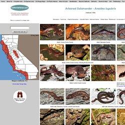 Arboreal Salamander - Aneides lugubris