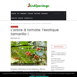 Arbre à tomate, tamarillo, tomate en arbre