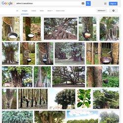 arbre hevea