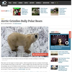 Arctic Grizzlies Bully Polar Bears