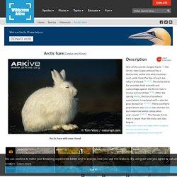 Arkive: Arctic hare - Lepus arcticus