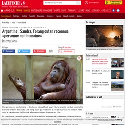 Argentine : Sandra, l'orang-outan reconnue «personne non humaine» - 23/12/2014 - ladepeche.fr