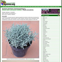 Piante aromatiche: Santolina Santolina chamaecyparissus L.