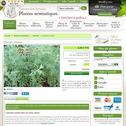 Absinthe romaine en pot : plante aromatique - Aromatiques