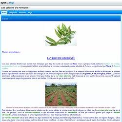Plantes aromatiques : la VERVEINE ODORANTE