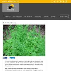Artemisia Plant – IIP Foundation